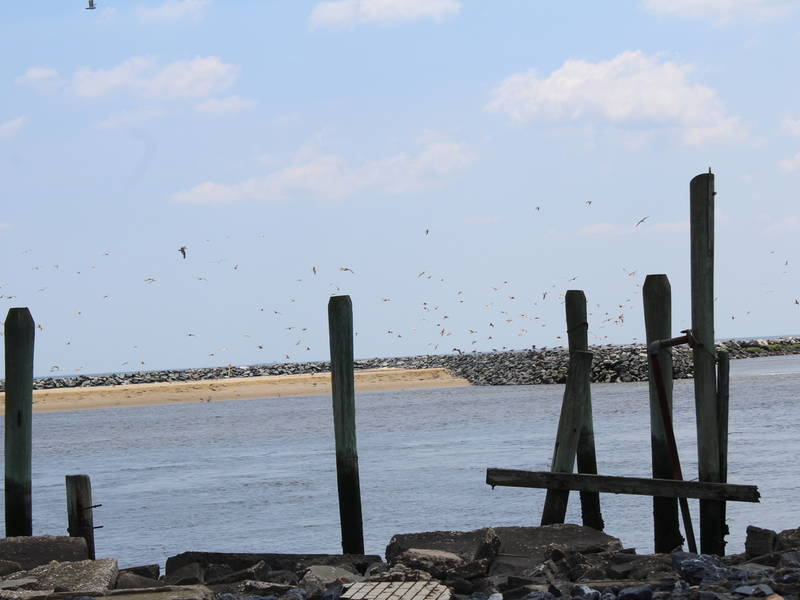 Shorebirds at Mispillion Harbor